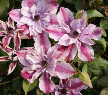 Taylors Clematis: viticella Super Cute