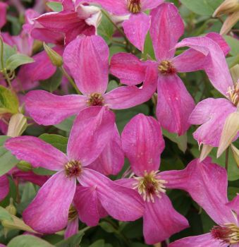 Taylors Clematis: viticella Wonderful