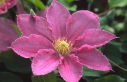 Taylors Clematis:  Abilene