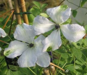 Taylors Clematis: viticella Alba Luxurians