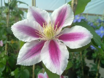 Taylors Clematis:  Angela