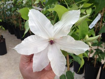 Taylors Clematis:  Beautiful Bride