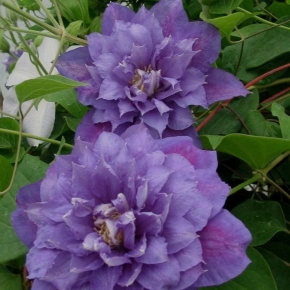 Taylors Clematis:  Beauty of Worcester