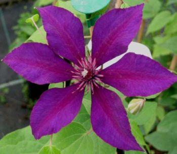 Taylors Clematis:  Burma Star