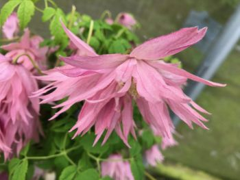 Taylors Clematis: macropetala Country Rose