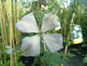 Taylors Clematis: viticella Caerulea Luxurians
