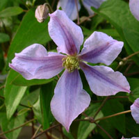 Taylors Clematis: viticella Chatsworth
