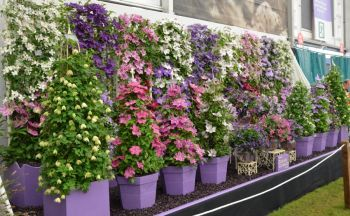 Taylors Clematis:  Chelsea Flowershow 2016 pics