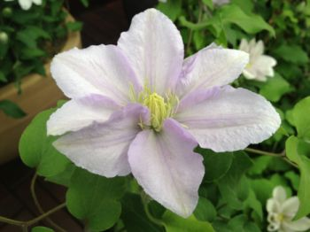 Taylors Clematis:  Chelsea