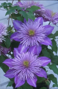 Taylors Clematis:  Crystal Fountain