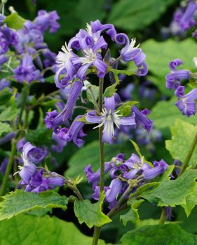 Taylors Clematis: heraclefolia Eclipse