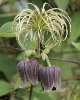 Taylors Clematis: viorna Fusca