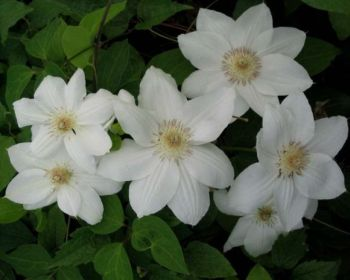 Taylors Clematis:  Mrs George Jackman