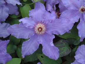 Taylors Clematis:  Happy Anniversary