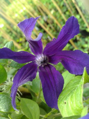 Taylors Clematis:  Harlow Carr