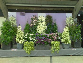 Taylors Clematis:  Harrogate Spring Flowershow 2009