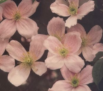 Taylors Clematis: montana Hazel Lotus