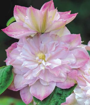 Taylors Clematis:  Innocent Blush