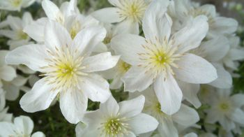 Taylors Clematis: x cartmanii Joe