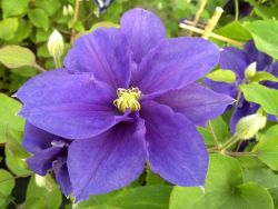Taylors Clematis:  Kingfisher