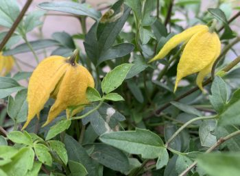 Taylors Clematis: tangutica Little Lemons