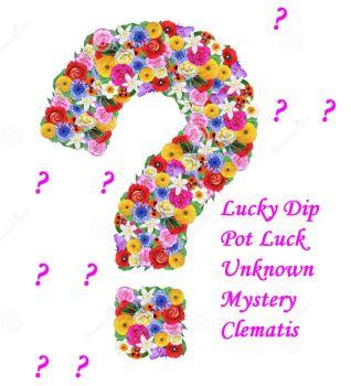 Taylors Clematis:  Lucky Dip Clematis