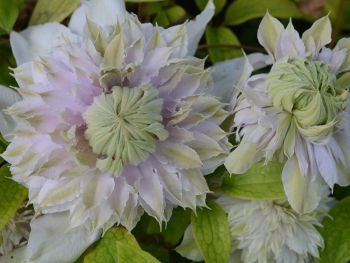Taylors Clematis:  Moonglow