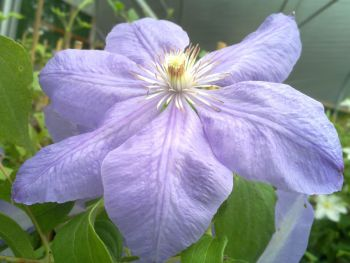 Taylors Clematis:  Mrs Cholmondeley