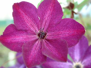 Taylors Clematis: viticella Night Veil