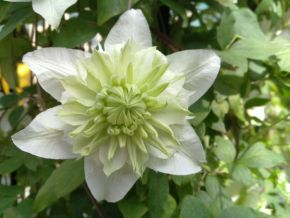 Taylors Clematis: florida Plena