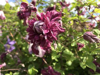 Taylors Clematis: viticella Purpurea Plena Elegans