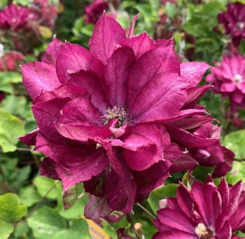 Taylors Clematis:  Red Passion