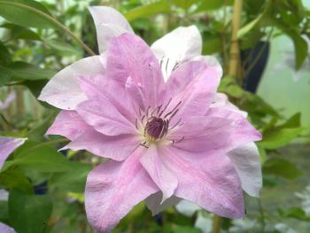 Taylors Clematis: New World Collection Reflections