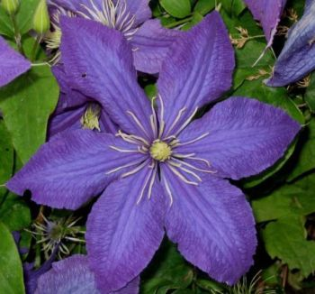 Taylors Clematis:  Rhapsody