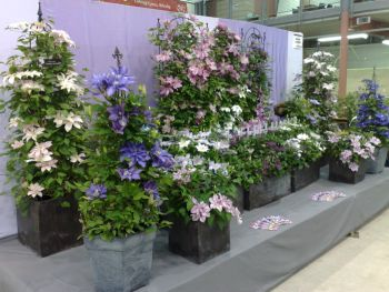 Taylors Clematis:  Royal Welsh Flowershow 2009