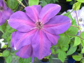 Taylors Clematis: New World Collection Shimmer