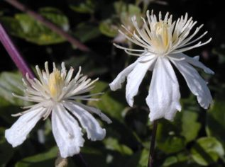 Taylors Clematis: x fargesioides Summer Snow