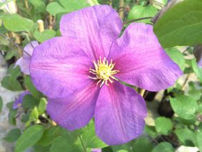 Taylors Clematis:  Twilight