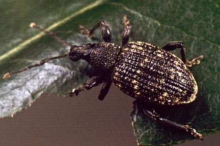 Taylors Clematis:  Vine Weevil