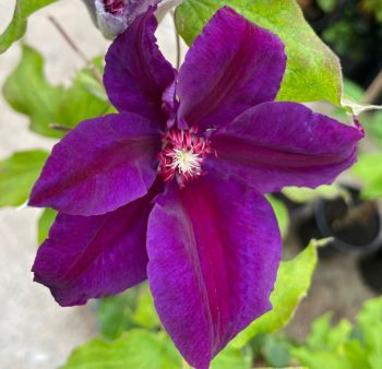 Taylors Clematis:  Wildfire