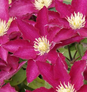 Taylors Clematis:  So Many Red Flowers