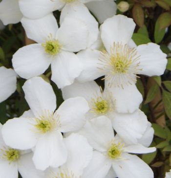 Taylors Clematis: montana Spring Joy